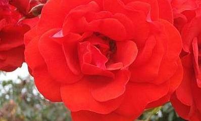Curbishleys_Roses